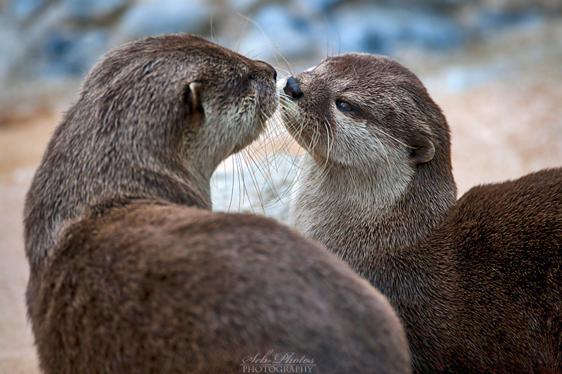otter_love____by_seb_photos-d5i3x28.jpg