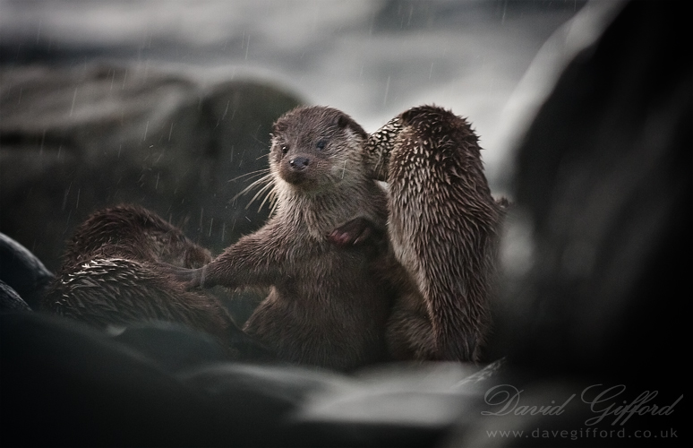 otters-playing-in-the-rain-by-david-gifford